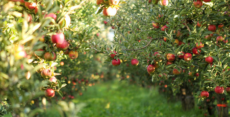 Ripe Apples in Orchard ready for harvesting