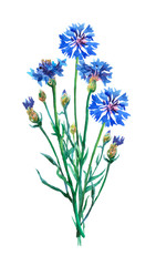 Blue cornflowers  bouquet. Watercolor hand painting illustration on isolate white background.