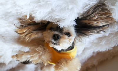 a cross between a Maltese and a Yorkshire Terrier