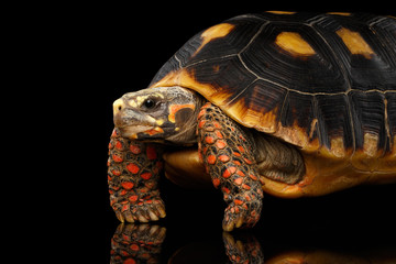 Close-up of Red-footed tortoises, Chelonoidis carbonaria, Isolated black background with reflection, side view on funny pose