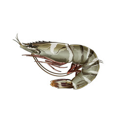 Tiger Shrimp, Isolated Illustration