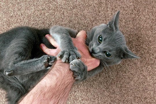 grey cat aggressively biting the hand