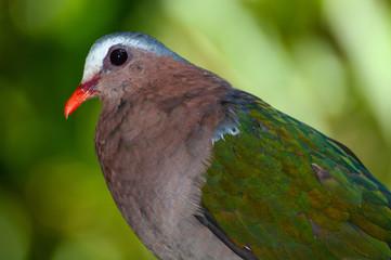 Closeup of common emerald dove, scientific bird name Chalcophaps indica