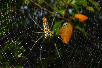 Closeup of female giant golden orb weaver spider hanging on web, scientific name Nephila pilipes