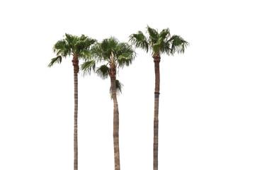 The coconut tree