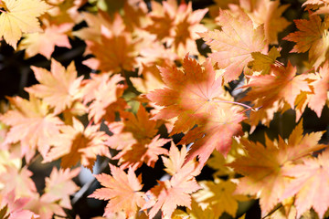 orange and golden leaves of maple tree in fall season closeup
