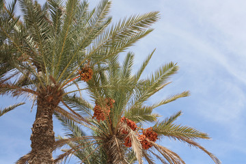 Palm tree with figs on blue sky background