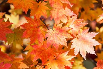 yellow and orange autumn maple foliage on branch during fall season