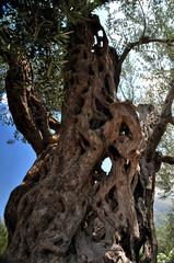 Alter knorriger Olivenbaum