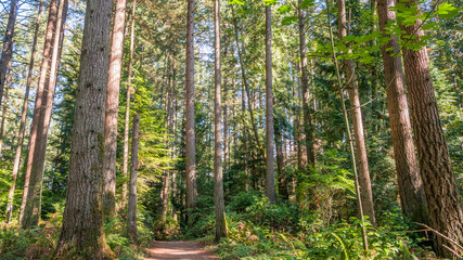 The sun's rays fall through the leaves. A path in the thick green forest. Bridle Trails State Park, WA