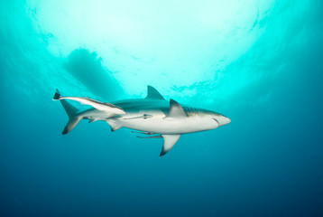 Fototapete - A beautiful shark swimming peacefully overhead in a clear, clean ocean