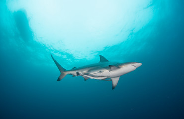Fototapete - A black tip shark swimming through the clear water of the Kwa Zulu Natal