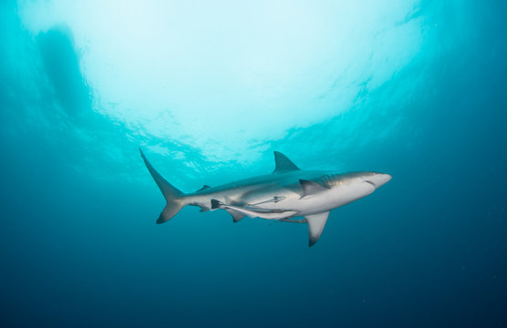 A black tip shark swimming through the clear water of the Kwa Zulu Natal
