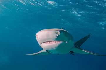 Fototapete - A lemon shark swimming directly towards the camera with a clear view of the ampullae of lorenzini