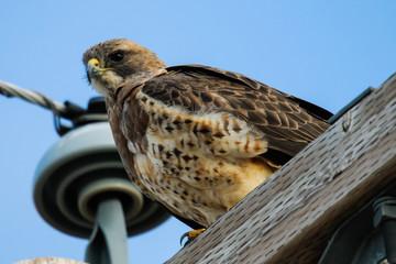Swainson's Hawk (Buteo swainsoni).
