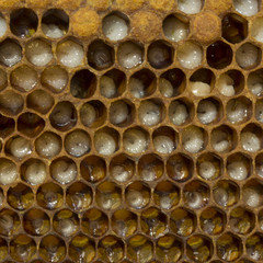 Eggs, larvae and cocoons bee