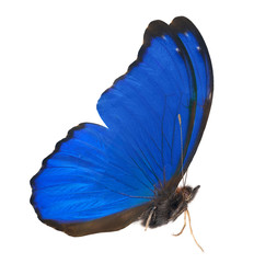 blue isolated morpho side view