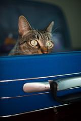 Tabby cat inside a blue suitcase