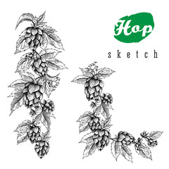 Beer hops round frame hand drawn hops branches with leaves, cones and hops flowers, color sketch and engraving design hops plants. All element isolated. Common hop or Humulus lupulus branch.