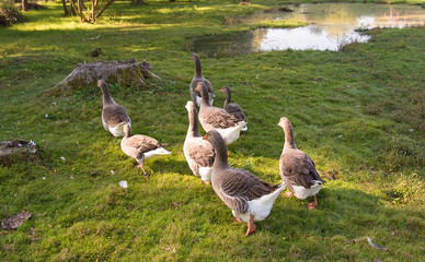 Geese live in the farm