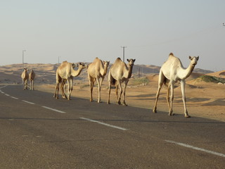 Camel marching in the road
