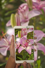 photography pink lilly flower by phone