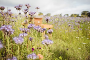 View of blooming lavender field and a apiary