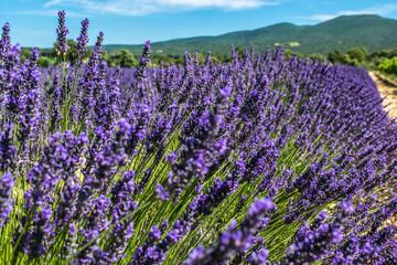 Printed roller blinds Lavender Lavender