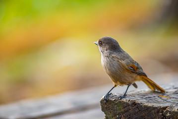 Siberian jay bird on wooden table