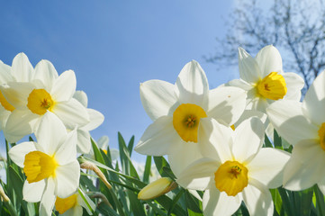 Photo sur Aluminium Natural flowers daffodils growing in the garden on the sky