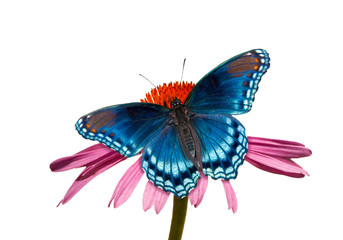 Red-spotted Purple Admiral butterfly on Purple Coneflower, against light muted background