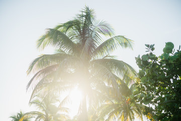 Palm trees in the resort town of Varadero, Cuba