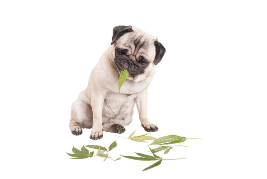 cute pug puppy dog eating weed, Cannabis sativa leafs, isolated on white background