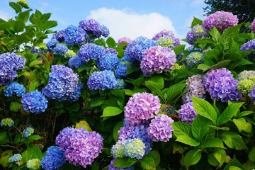 Spoed Fotobehang Hydrangea Purple, blue and pink heads of hydrangea flowers