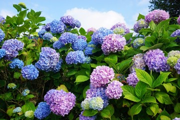 Fond de hotte en verre imprimé Hortensia Purple, blue and pink heads of hydrangea flowers
