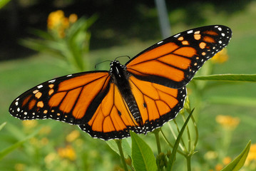 male monarch butterfly with wings spread, feeding on yellow tropical milkweed plants