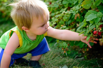 boy picking and eating berries