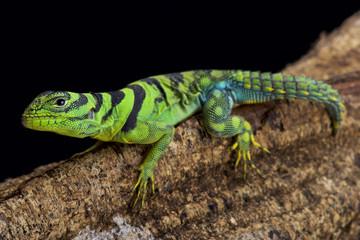 green thornytail iguana, Uracentron azureum,