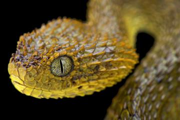 Cameroon bush viper,Atheris broadleyi,