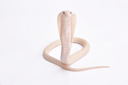 Albino cobra, Naja kaouthia