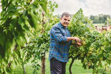 Mature Vintner Cutting Grapes