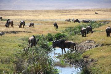 Troupeau de gnou au Serengeti et Ngorongoro Tanzanie