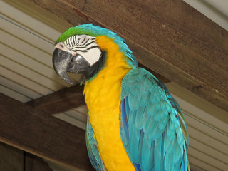 Blue-and-yellow macaw under metal roof with eyes closed