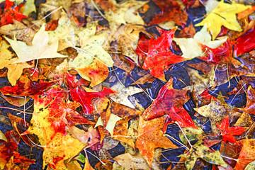 단풍/ 가을 단풍이 아름다운 때에 갑자기 내린 첫눈으로 나뭇잎이 떨어져 있는 장면,