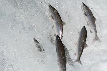 Sockeye salmon jumping