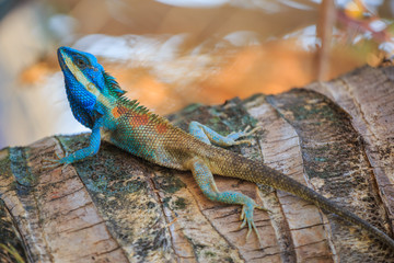 Lizard,dragon , Chameleon , Blue-crested Lizard , Indo-Chinese Forest Lizard  , Indo-Chinese Bloodsucker