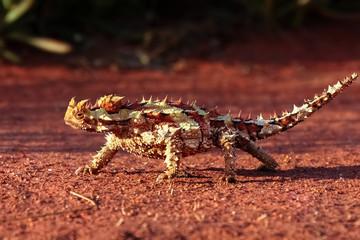 Dornteufel im Outback, Australien