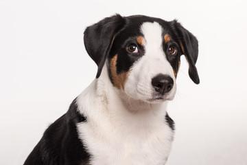 Junger Appenzeller Sennenhund - Hundegesicht freigestellt