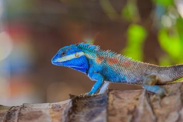 Lizard,dragon , Chameleon , Blue-crested Lizard , Indo-Chinese Forest Lizard  , Indo-Chinese Bloodsucker