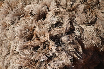 Feathers of the Struthio camelus in Namibia, Africa
